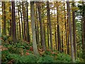 NT2938 : Larches in Cardrona Forest by Jim Barton