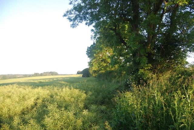 Hedge by a crop of oilseed rape