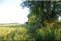 TG1407 : Hedge by a crop of oilseed rape by N Chadwick