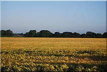 TG1408 : Ripening wheat in early morning sunshine by N Chadwick