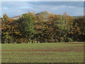 NT6810 : Planted field east of A68 by Trevor Littlewood