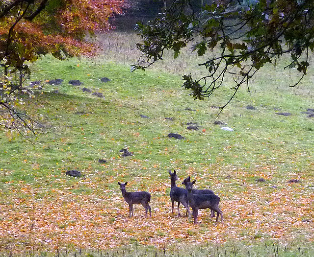 Black fallow deer, Levens Park