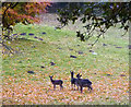 SD5085 : Black fallow deer, Levens Park by Karl and Ali