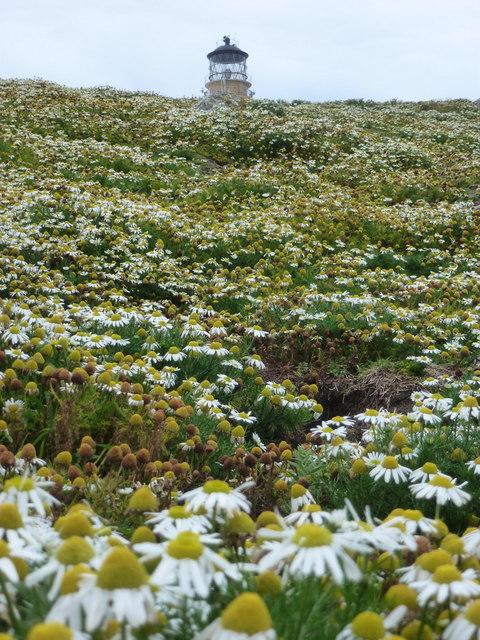 Flannan Isles: mayweed on Eilean Mòr
