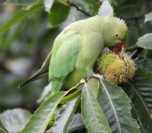 Ring Necked Parakeet (Psittacula krameri), Kew Gardens