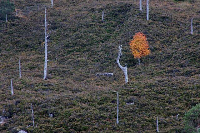 Lone birch on a hillside, Loch Mullardoch