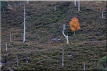 NH2230 : Lone birch on a hillside, Loch Mullardoch by Mike Pennington