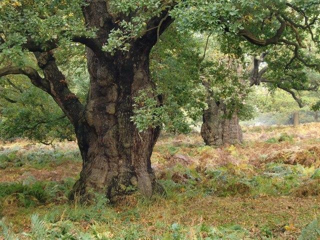 Ancient oak trees in High Wood, Richmond Park (3)