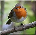 TQ2276 : Robin (Erithacus rubecula), London Wetland Centre, Barnes, London by Christine Matthews