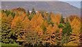 J3269 : Autumn trees, Barnett Demesne, Belfast (1) by Albert Bridge