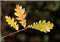 NY0669 : Oak leaves in Stragglingwath Plantation by Walter Baxter
