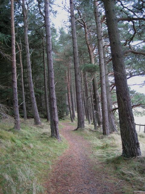 Path through the pines, Falla Brae