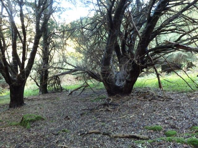 Old Yew trees near Van Dieman's Cottage