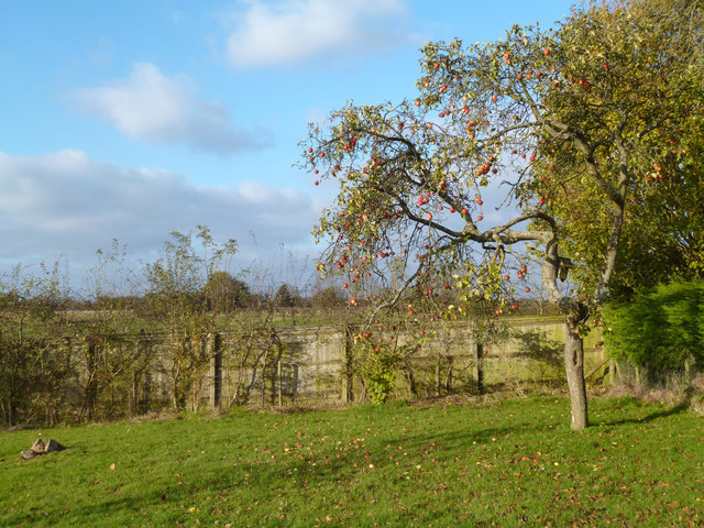 Apple Tree in Holton