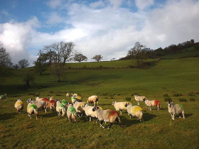 Multi-coloured ewes near Marthwaite