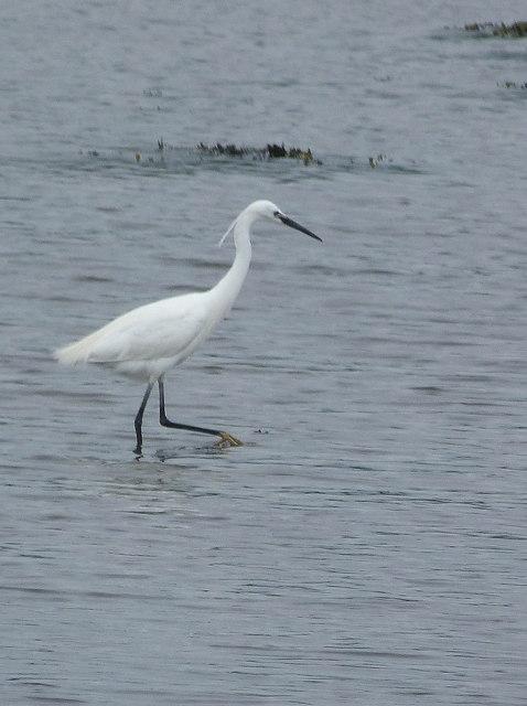 Little Egret at Kennacraig