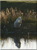 SP9314 : Preening swan at College Lake by Rob Farrow