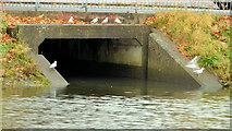 J3472 : Gulls and drain, River Lagan, Belfast by Albert Bridge