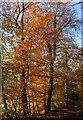 SX7267 : Autumn beech, Hembury Woods by Derek Harper