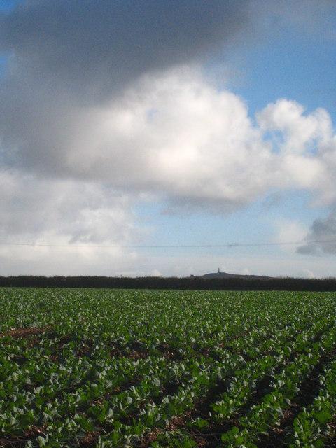 Field of young broccoli at Cornhill Farm