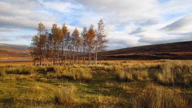 Birch trees, Inver