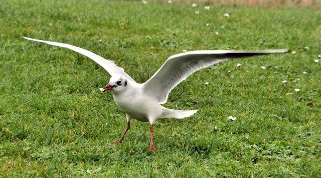 Black-headed gull, Islandhill, Comber (1)
