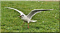J4968 : Black-headed gull, Islandhill, Comber (1) by Albert Bridge