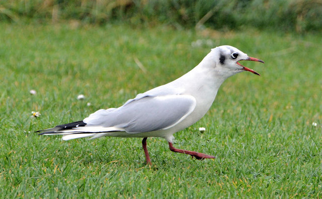 Black-headed gull, Islandhill, Comber (2)