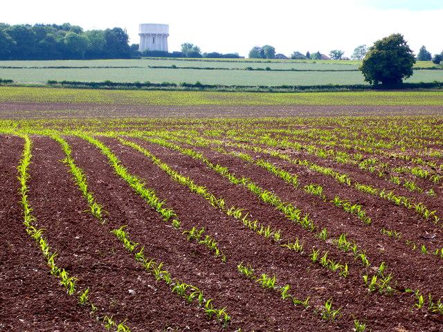 Maize Field near Bockenden Grange
