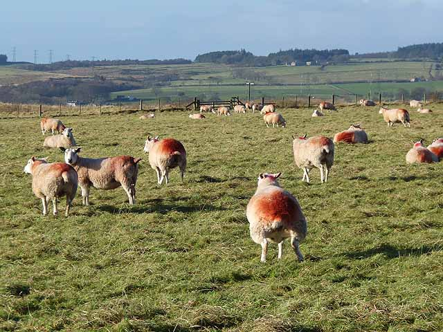 Field of pregnant ewes