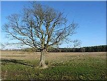 NZ0367 : Wayside tree by Oliver Dixon