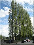 SX8672 : Lombardy Poplars, Newton Road by Robin Stott