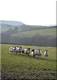 SK0780 : Inquisitive sheep east of Barmoor Clough by Neil Theasby