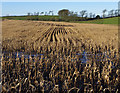 SD4864 : Maize crop by Ian Taylor