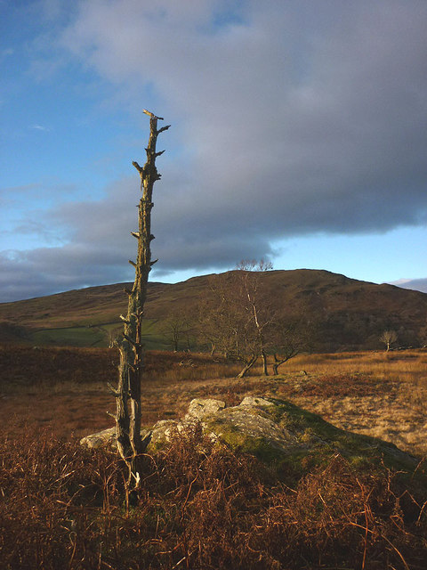 A dead tree in the enclosure above Longsleddale