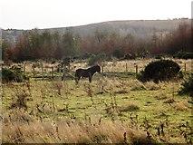 NZ2449 : Exmoor pony on Waldridge Fell by Robert Graham