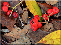 J3471 : Leaves and berries, Belfast by Albert Bridge