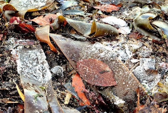 Frosty seaweed near Helen's Bay