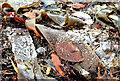J4482 : Frosty seaweed near Helen's Bay by Albert Bridge