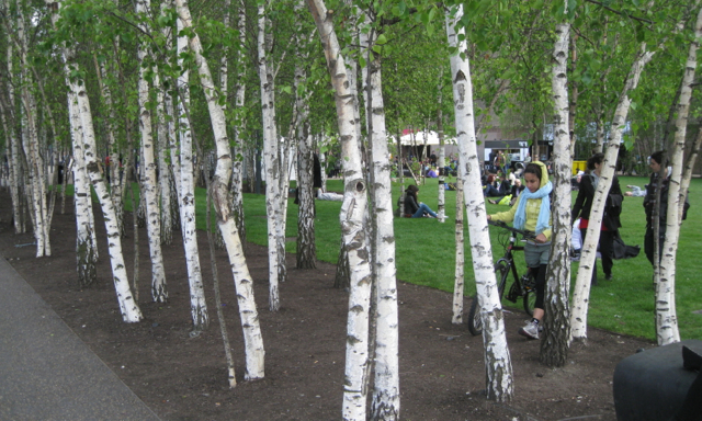 Birch Trees By The Jubilee Walkway 169 Robin Stott