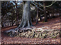 SD4577 : Beech tree roots, Arnside Knott Wood by Karl and Ali