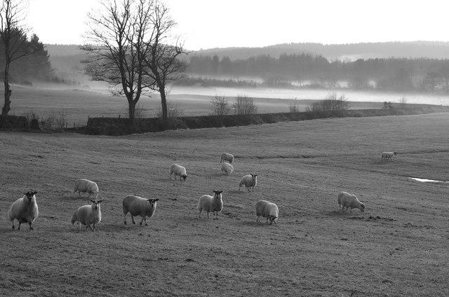 Fairgirth Sheep