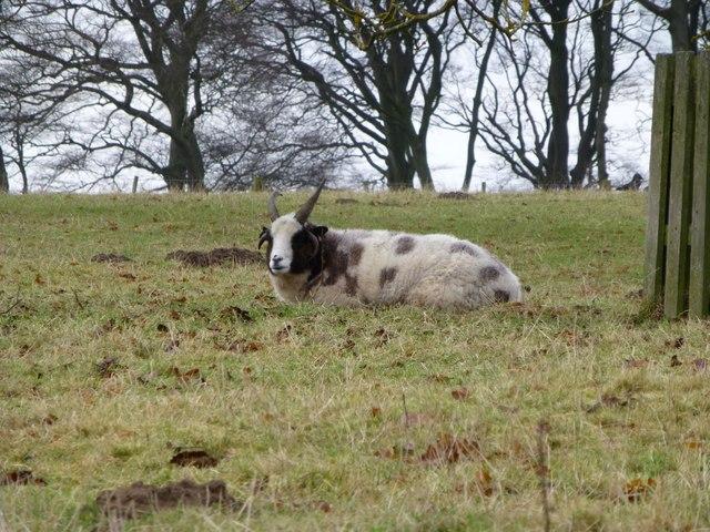 Jacob's sheep near Eglingham Hall
