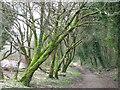 ST0891 : Trees flanking Taff Trail path by John Light
