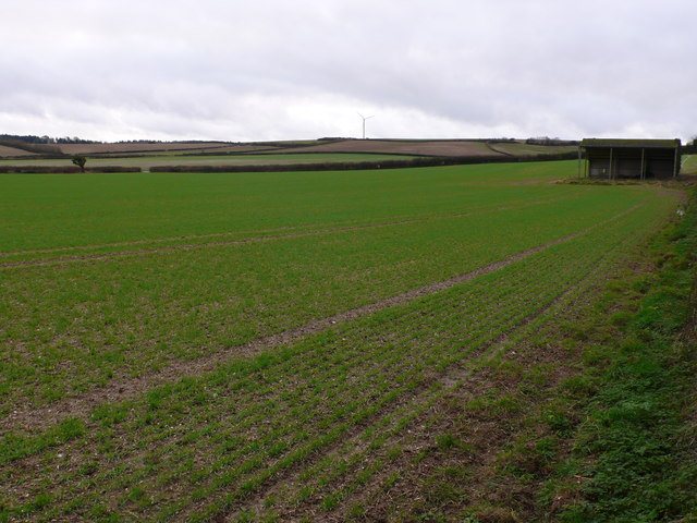 Wheat field near Bere Down