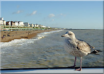 TQ3103 : Brighton beach and seafront with gull by Roger  Kidd