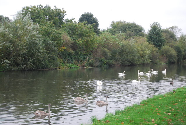 Swans on the River Lea