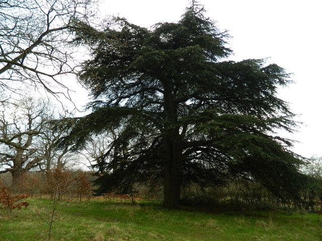 Cedar Tree in Danbury Country Park