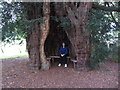 SO6532 : Seat within ancient yew tree in churchyard at Much Marcle by Colin Park