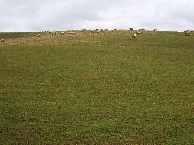 Grazing near Fulthorpe